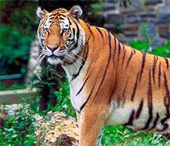 Tigers, Golden Triangle & Sri Lanka